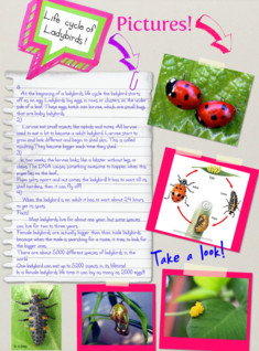 Life cycle of a ladybird!
