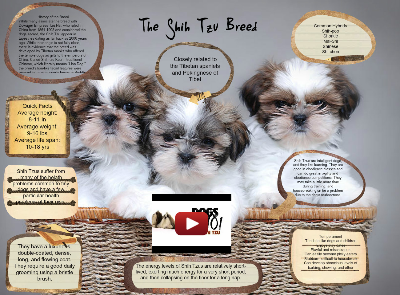 The Shih Tzu Breed Animals China Dog En Mammals Science Zoology Glogster Edu Interactive Multimedia Posters