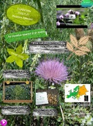 Canada Thistle's thumbnail