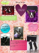 Boston Terriers's thumbnail